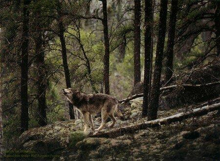 wolf_1_big