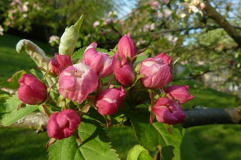 Fleurs de Pommier (2)