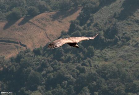 vautour_en_plein_vol