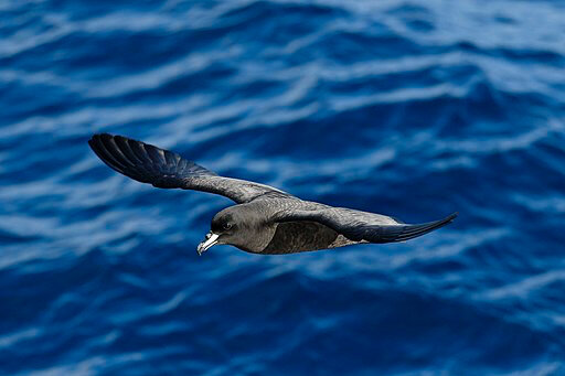 Westland_petrel_flying
