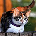 chat collier violet