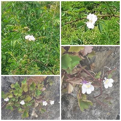 Fleurs 30 05 2020 (13)