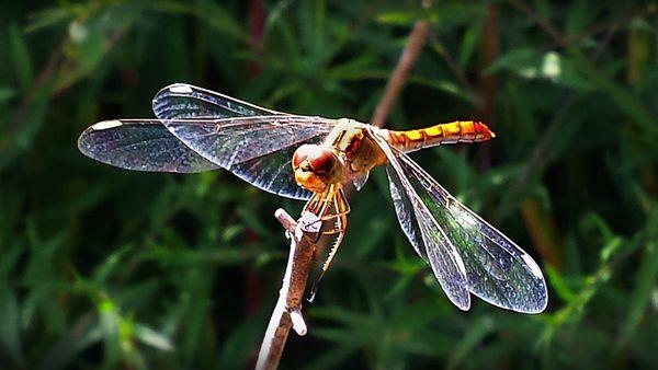 libellelule (4)