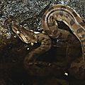 Eunectes murinus (juvénile)