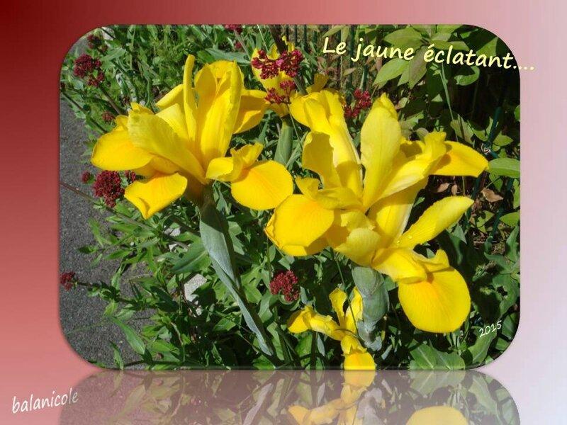 balanicole_2015_mai2_08_iris jaune