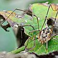 Opiliones • Phalangium opilio • Famille des Phalangiidae