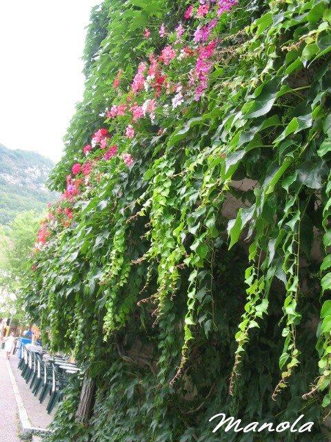 géraniums et vigne vierge