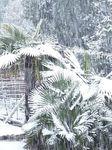 palmier_sous_la_neige