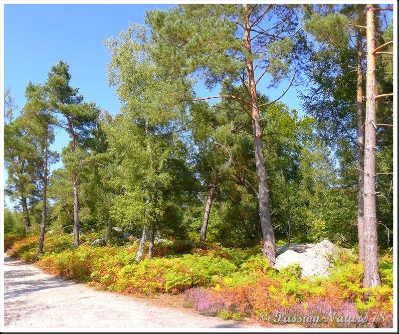 Balade dans la bruyère en forêt de Rambouillet (1)