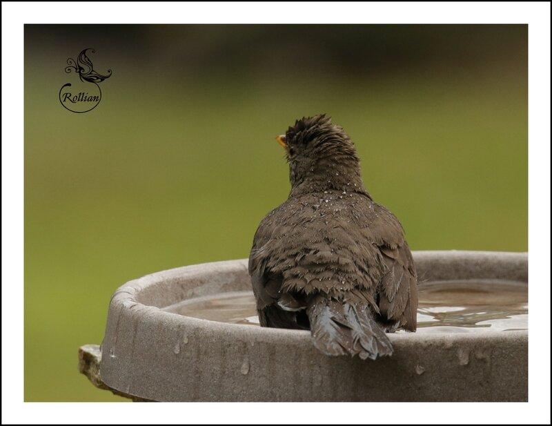 Merle au bain 2