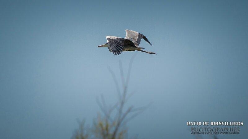 Héron cendré (Ardea cinerea - Grey Heron)
