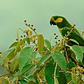 oiseaux-yellow-eared_parrot_colombie__xavier_amigoecuador_experience_650