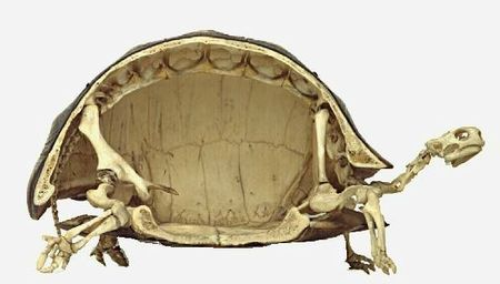 Cross-section-of-a-turtle-skeleton