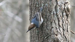 800px-Brown-headed_Nuthatch-27527
