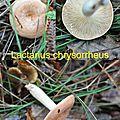 Lactarius chrysorrheus
