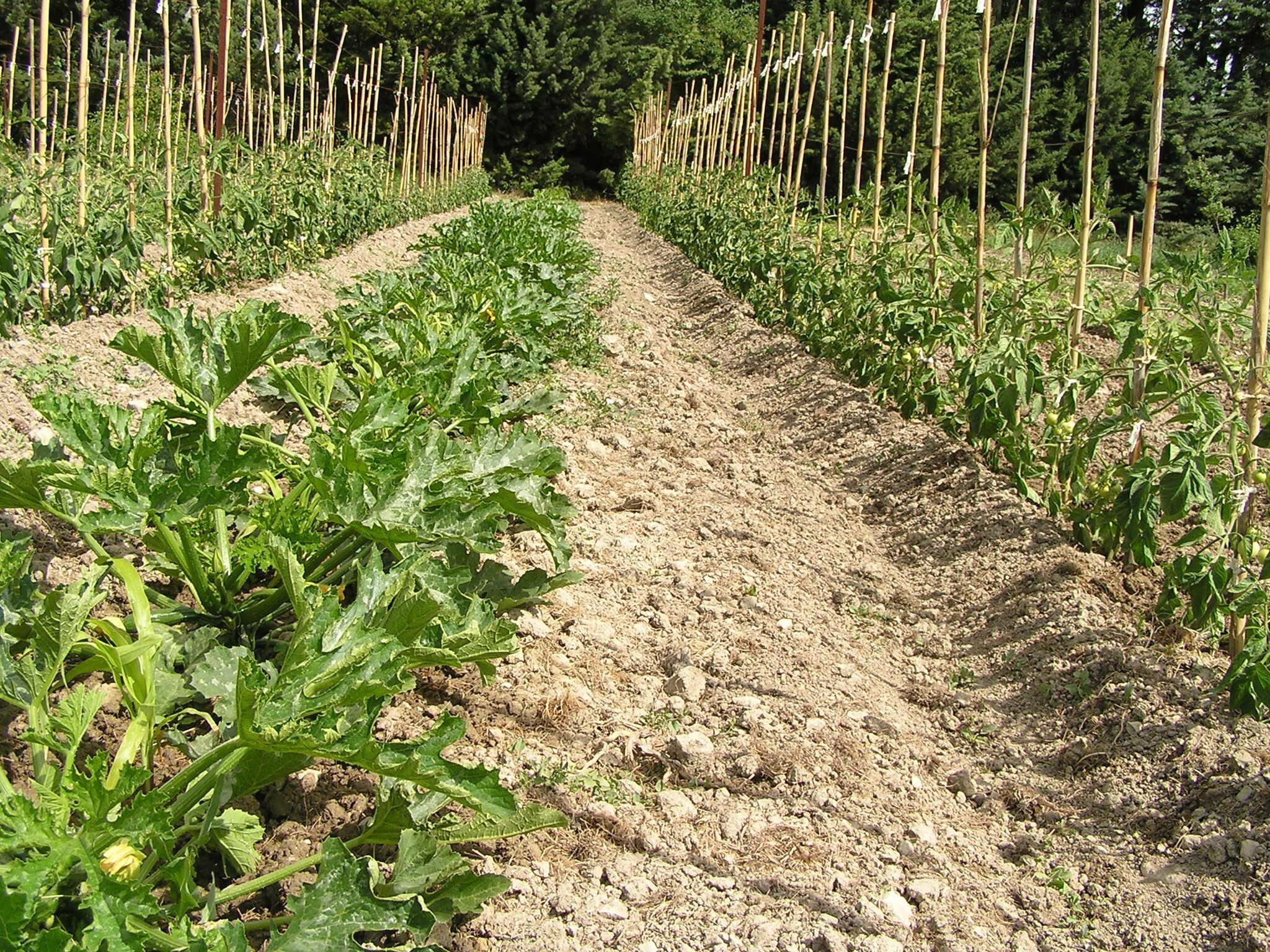 2013 = 1ères cultures depuis 10 ans ! : jeunes courgettes et tomates