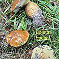 Boletus badius