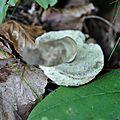 Gyroporus cyanescens (1)