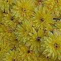 17-11-11 Les chrisantèmes jaunes