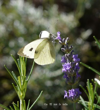 papillon_lavande