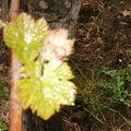 Croissance d'un pied de vigne