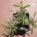 Euphorbia rossi été