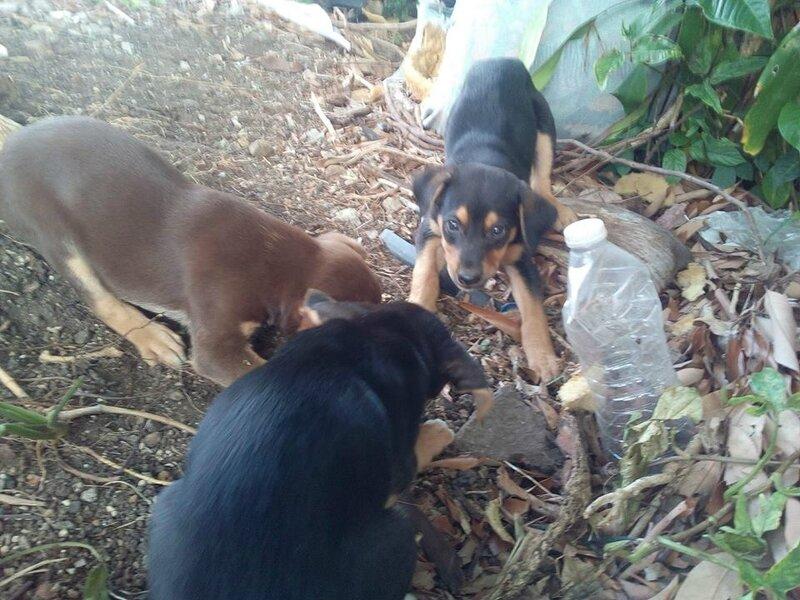 Chienne et ses 6 chiots largués dans la forêt tropicale sur les flancs de la soufrière 2
