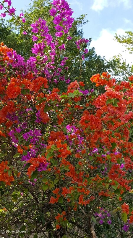 Bougainvilliers 1