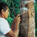 Le caoutchouc en amazonie