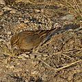 Bruant des rochers (emberiza impetuani) - Mirabib Namibie
