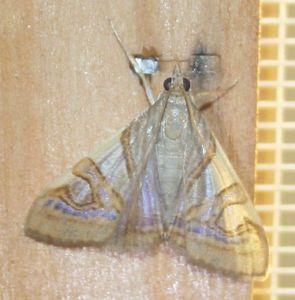 Glyphodes mascarenalis 01 (1)
