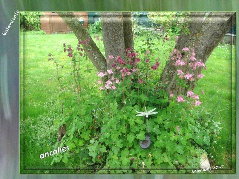 balanicole_2017_06_le printemps des vivaces 02_42_ancolies1