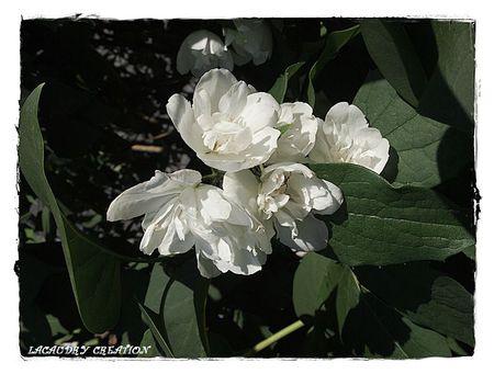seringat en fleurs 1