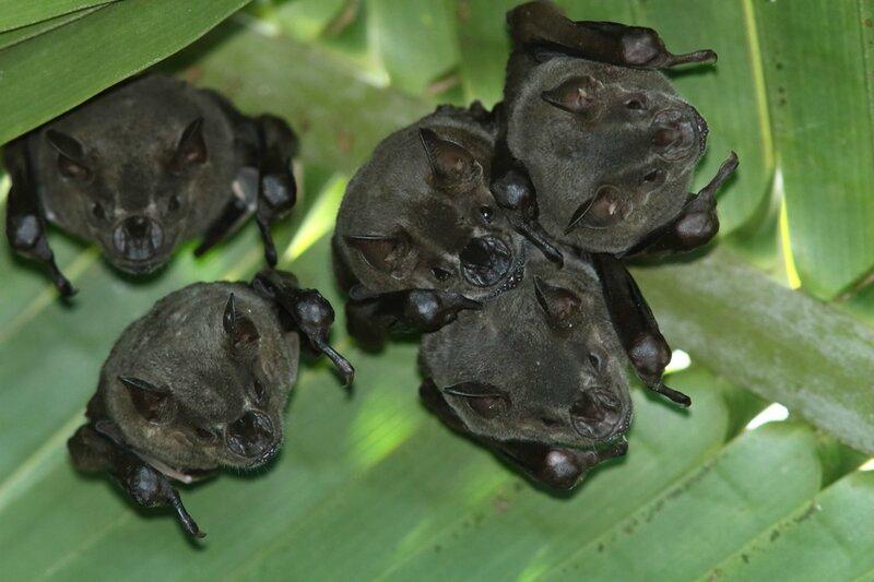 Artibeus planirostris - Artibée commune