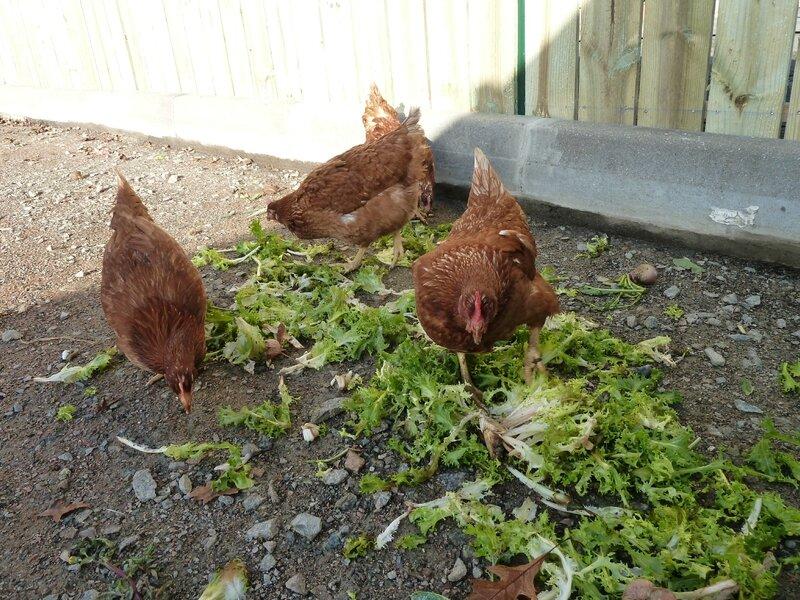 DEC-15-8dec-poules et salade (42)