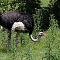 Aves - autruche - struthio