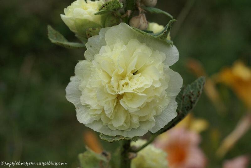 fin juin rose trém
