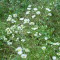 Aster à feuilles lancéolées (Aster lanceolatus), parc Huvier