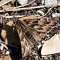 Grisette ou Hespérie de l'Alcée (Carcharodus alceae)