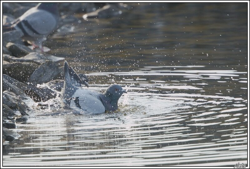 le bain du Pigeon