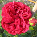 Rose Eric Tabarly