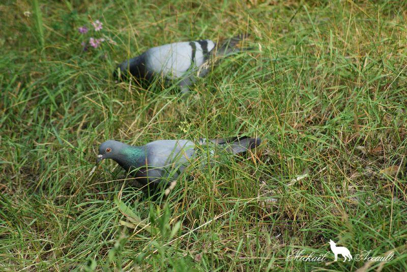 Pigeons genuine-homer 6