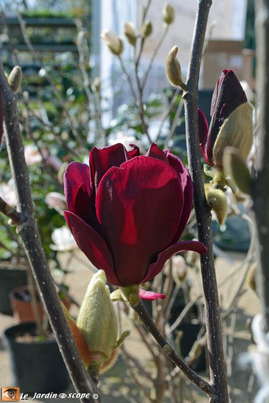 Magnolia-x-Génie