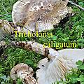 Tricholoma caligatum
