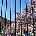Les magnolias ...