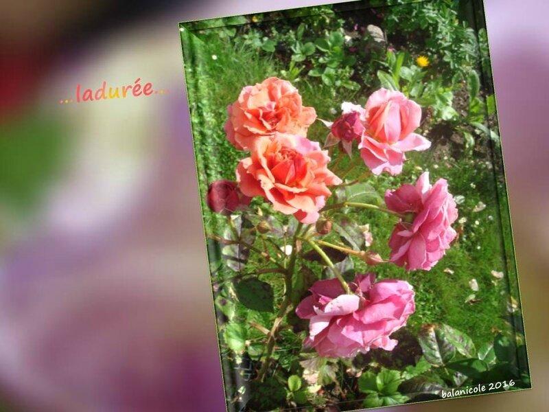 balanicole_2016_11_les nouveaux rosiers de balanicole_L comme ladurée_10