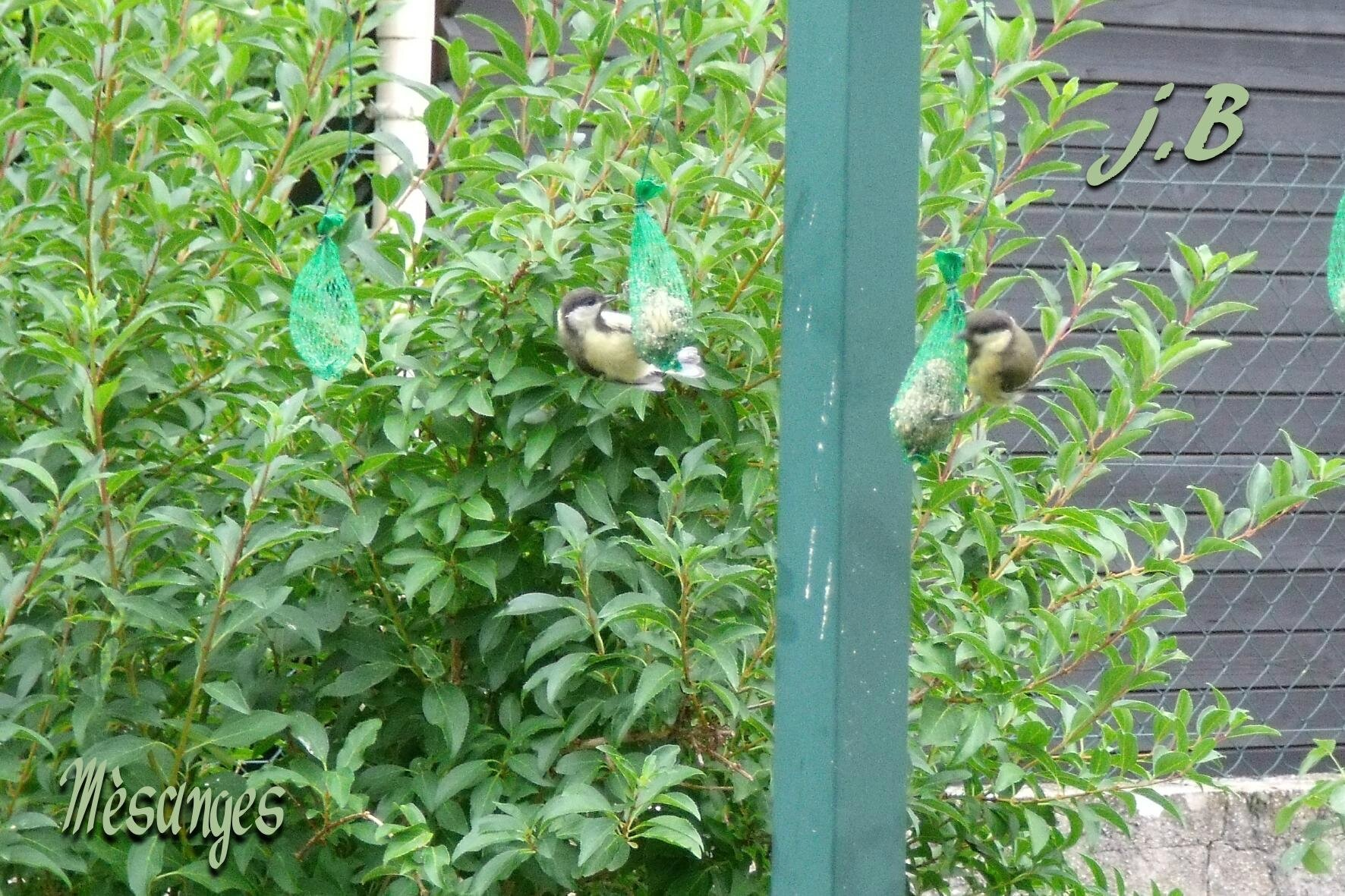 Mésanges dans mon Jardin