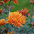10/11/15 : interlude fleuri : chrysanthema # 3