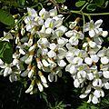 fleurs-d-acacia-jpg