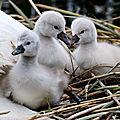 2 bébés cygnes de plus à la baie de mémard